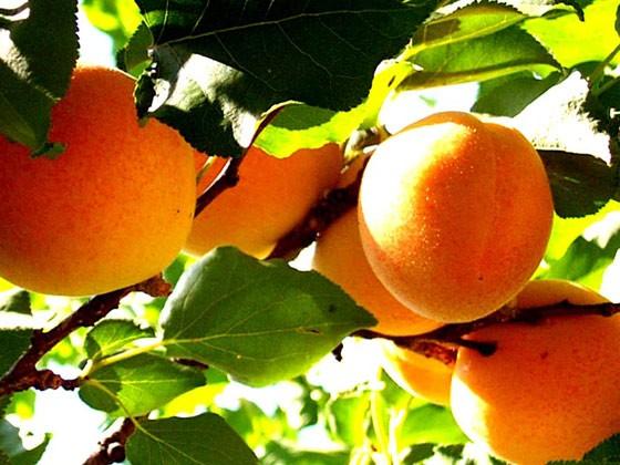 Abricot France - 500 g